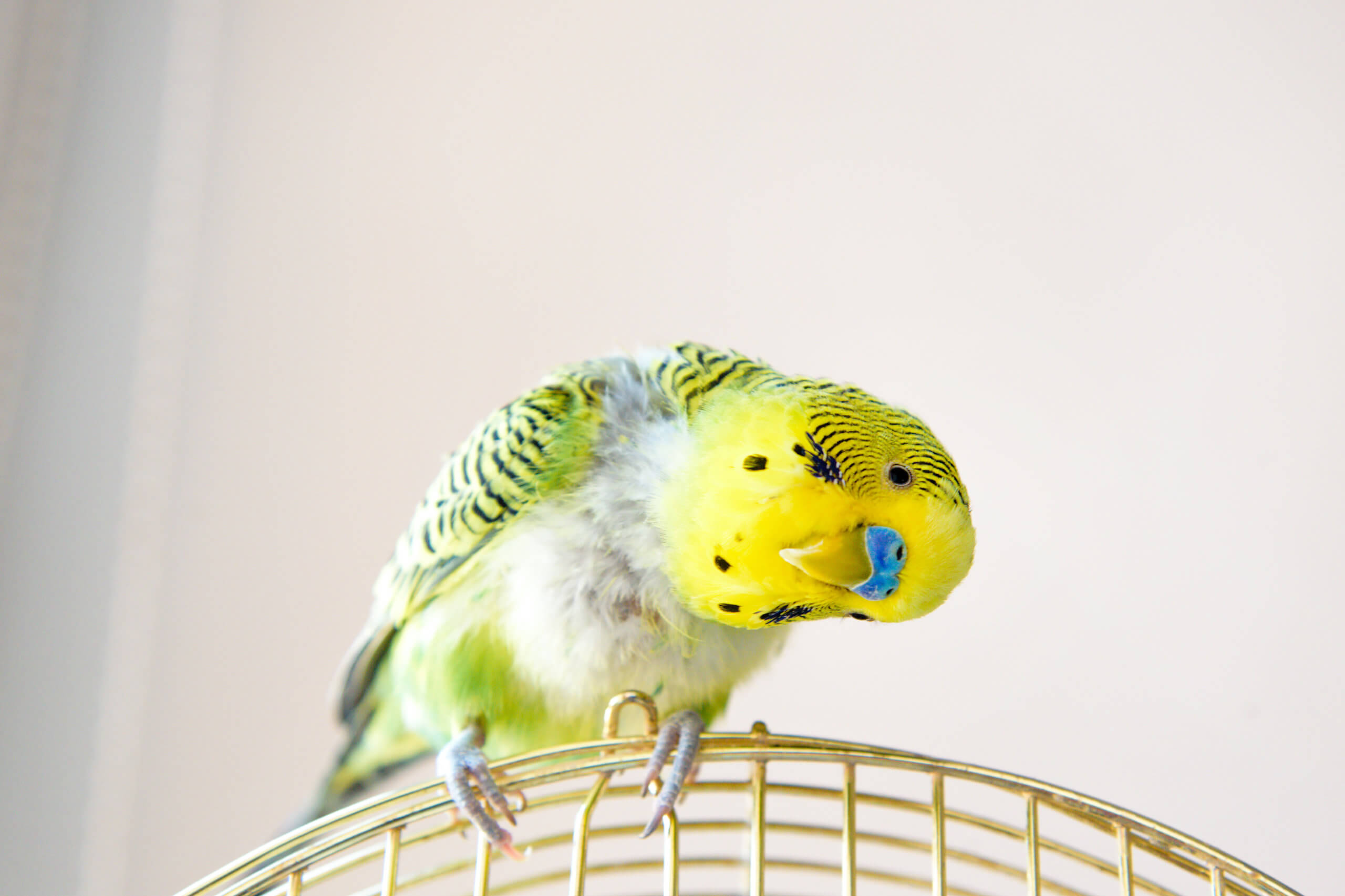 Domestic budgie parrot, poultry with a health problem after moulting. A green Budgerigar with plucked breast, without feathers.